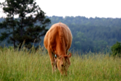 3/4-blood Akaushi cow grazing on Sullivan Creek Ranch
